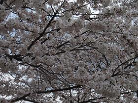 猪野神社の桜 一面桜