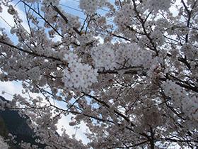 猪野神社の桜