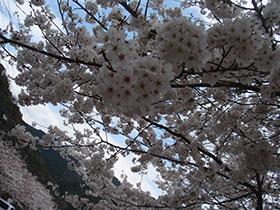 猪野神社の桜 ちょい引き