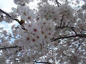 猪野神社の桜 ズームアップ