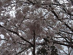 猪野神社の桜''